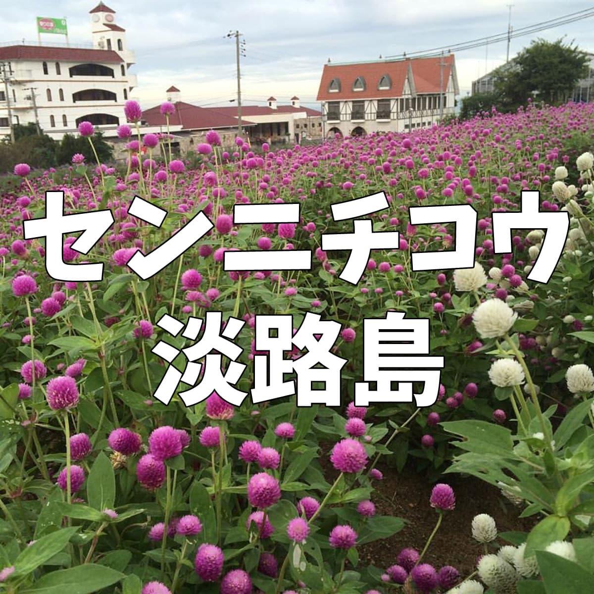 センニチコウ(千日紅)淡路島