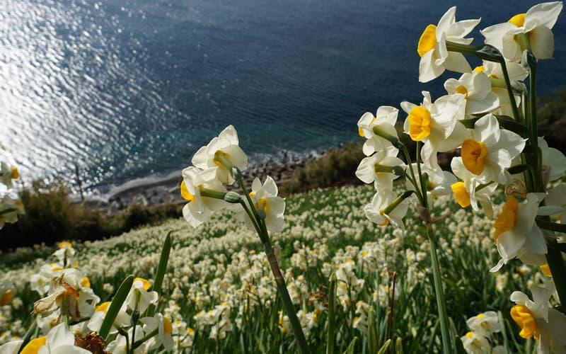 斜面に咲く水仙「灘黒岩水仙郷」