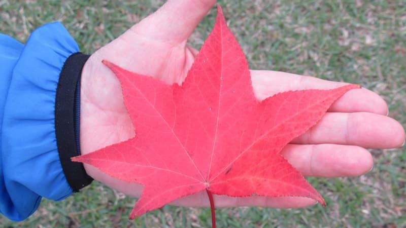 手の平サイズ紅葉
