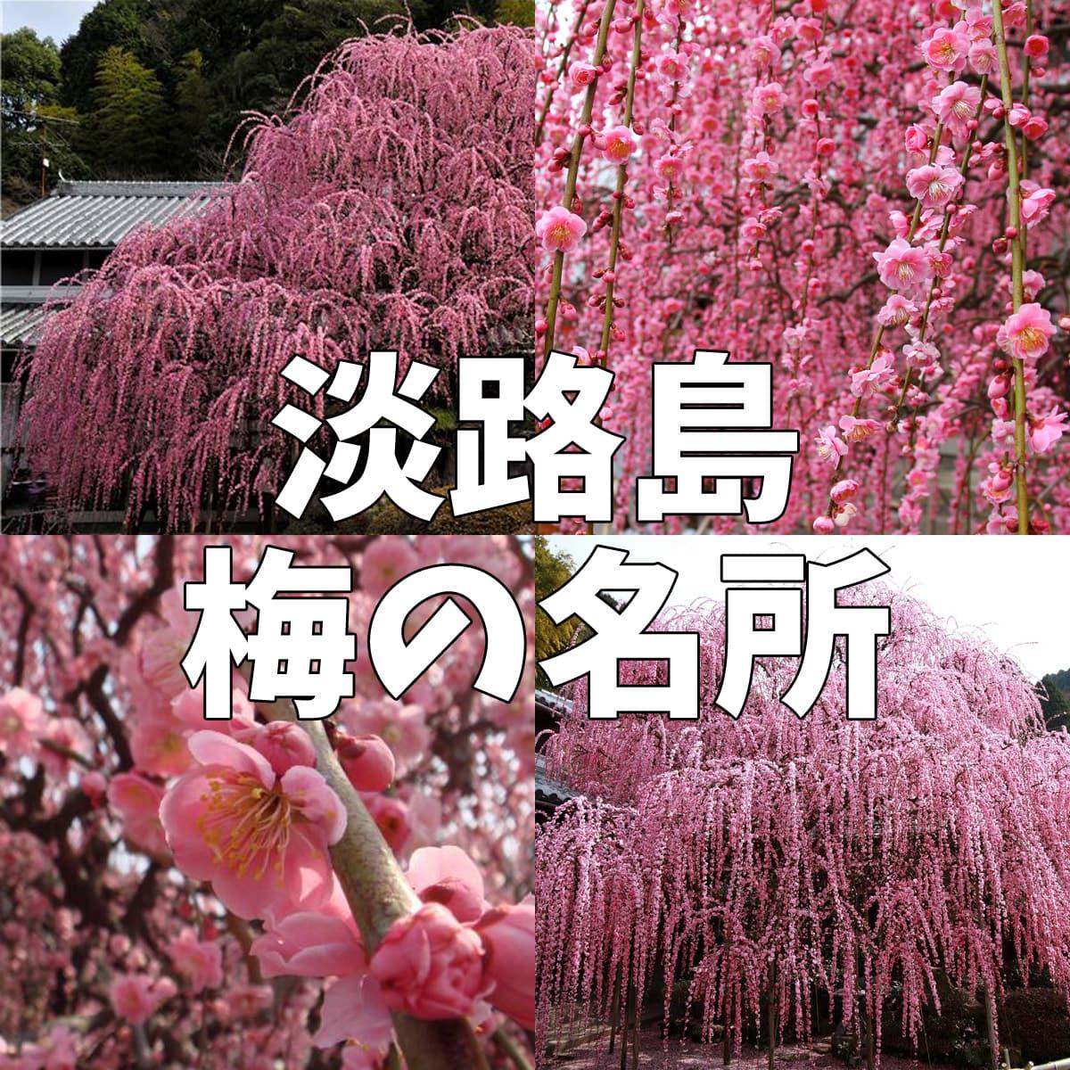 淡路島 梅の名所「八木のしだれ梅」